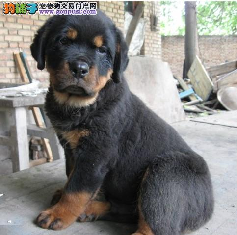 西安专业繁殖看家护院 忠诚护主的防爆犬罗威纳犬出售
