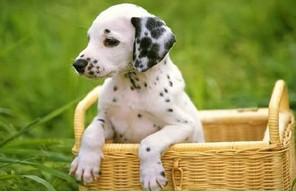 沈阳斑点狗大麦町犬精品幼犬出售包纯种包健康保障售后
