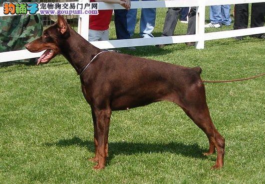 南宁高品质纯种杜宾犬 德系杜宾犬幼犬出售 回家包养活