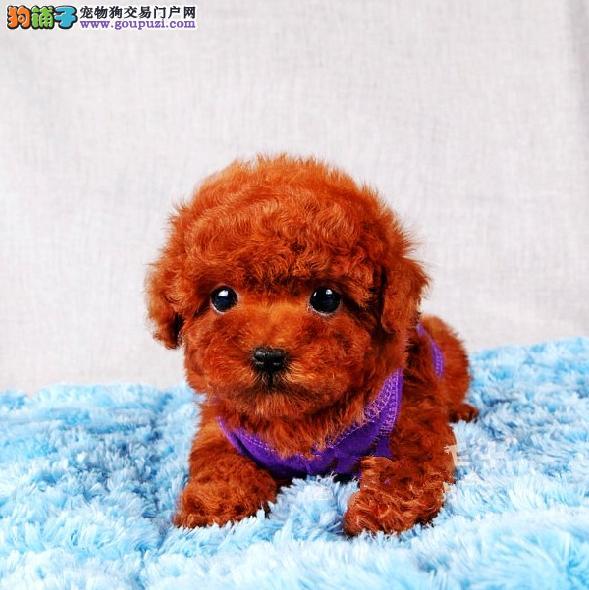 宿迁专业繁殖纯种泰迪幼犬保障健康 买泰迪可签订协议