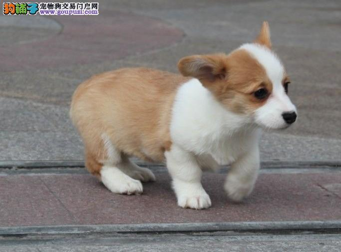 买卖柯基犬在什么地方 纯种柯基哪里有出售的