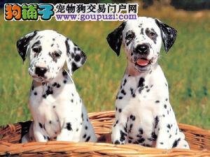 实体店出售纯种的斑点犬幼犬保证健康公母都有上门挑选