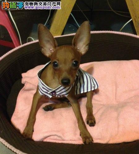 海口市出售小鹿犬 公母都有 三个月包退换 包半年健康
