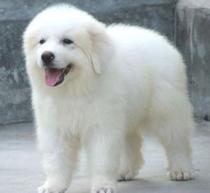 石家庄市出售大白熊犬 比利牛斯山犬 已驱虫可视频看狗