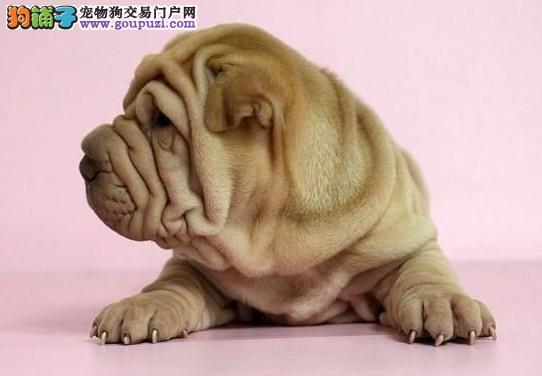 古老而独特的沙皮犬出售 焦作专业繁殖沙皮狗幼犬