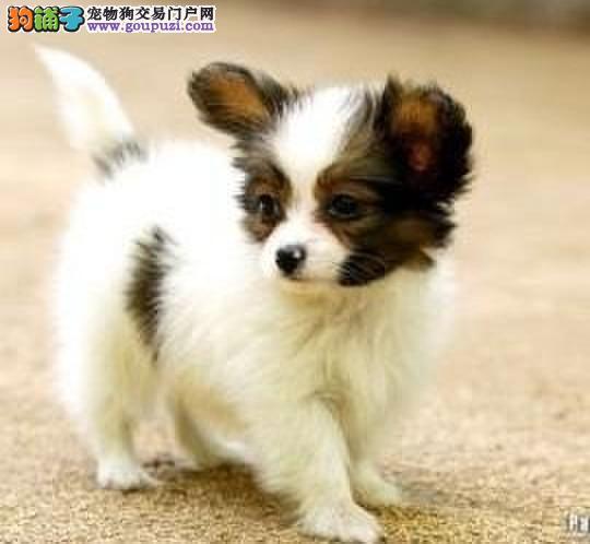 厦门基地直销黄白花黑白花蝴蝶犬幼犬包健康纯种签协议
