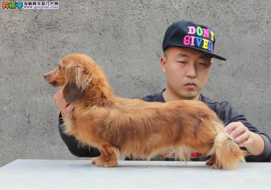 西宁转让纯种赛级迷你短毛长毛腊肠犬幼犬