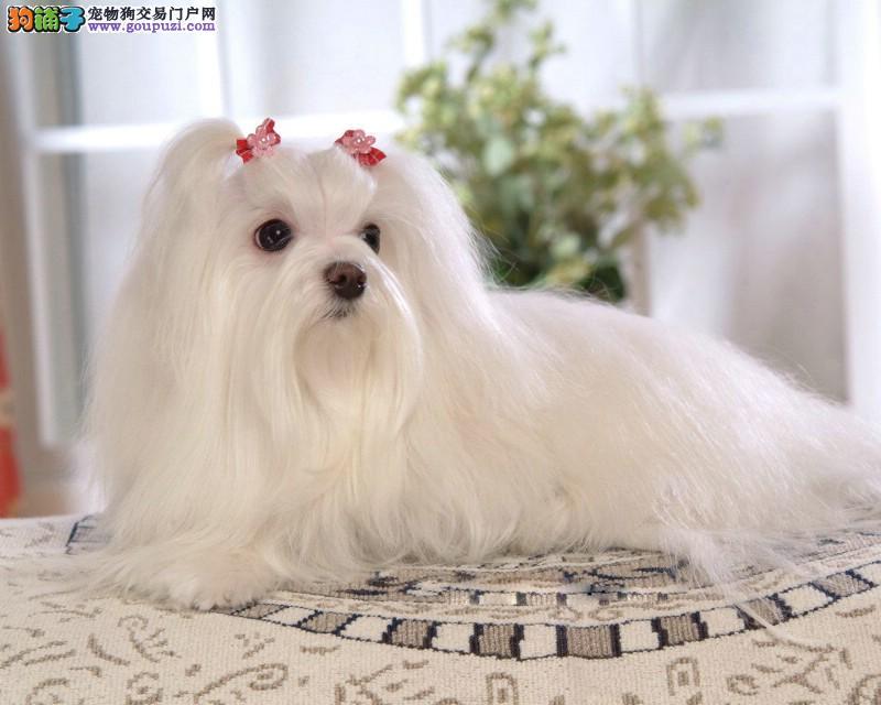 济南出售娇小可爱 优雅多姿纯血统玛尔济斯犬