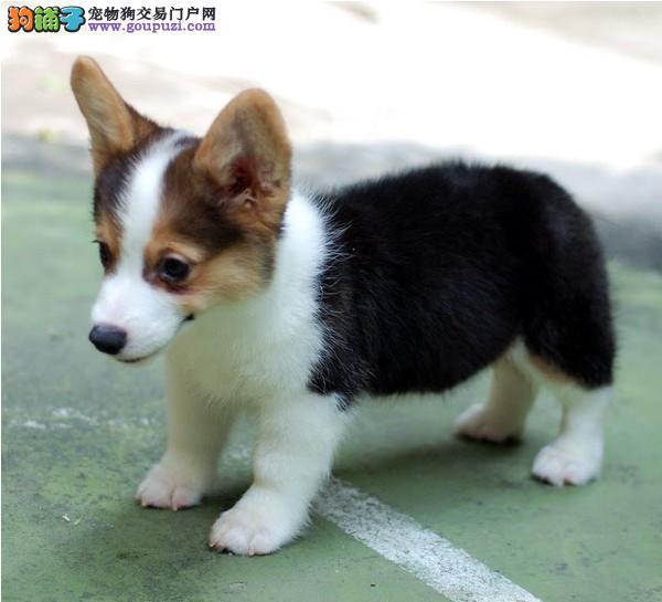 南京柯基犬哪里有卖的 南京柯基犬价格多少钱图片