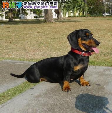 广州出售纯种腊肠犬 铁包金 黄色 长毛短毛腊肠犬
