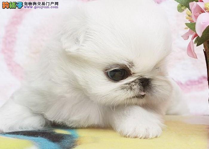 齐齐哈尔纯种黄、白京巴狗 体型漂亮尾巴丰满