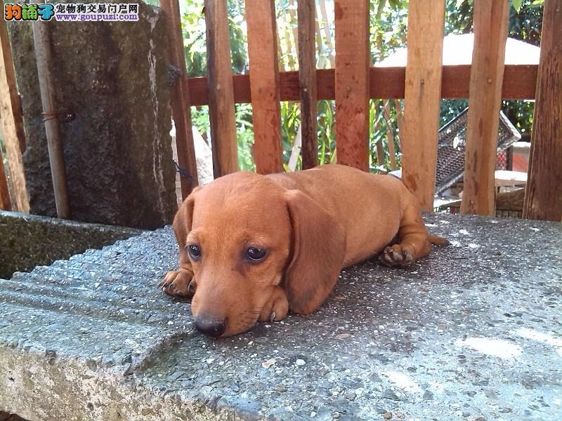 沈阳忠诚顽皮的腊肠犬出售 聪明活力充满勇气腊肠幼犬