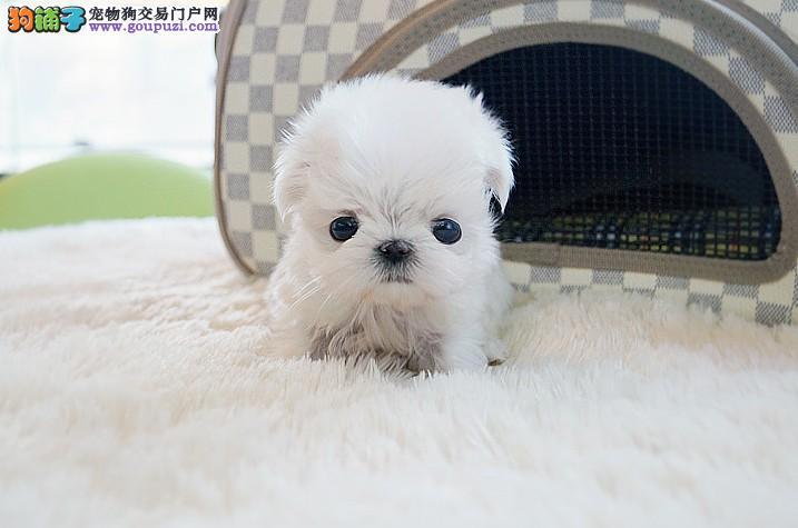 兰州出售美美哒马尔济斯犬白色大眼睛欢迎选狗