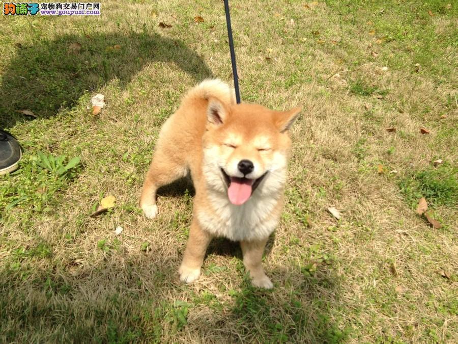 北京售精品日系柴犬 日本柴犬幼犬公母全有可挑选