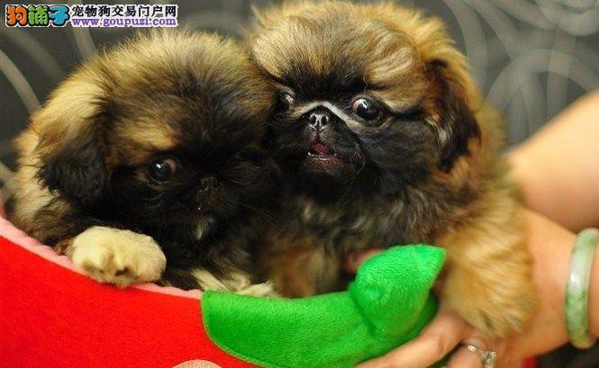北京出售纯种京巴犬 健康信誉诚信保证 忠实京巴狗幼犬