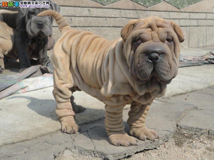 沙皮狗幼犬出售保证纯种健康