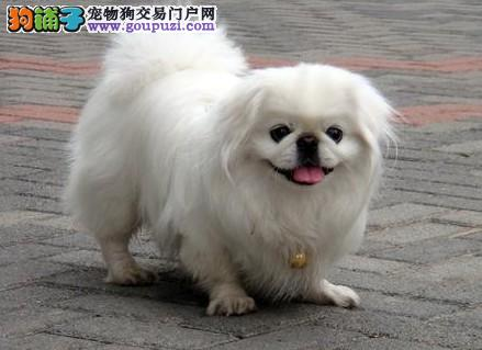 售小京巴宫廷狮子犬北京犬疫苗驱虫全可包邮