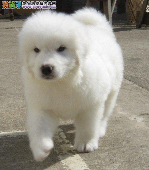 宁波顶级精品大白熊幼犬 保证纯血统品质