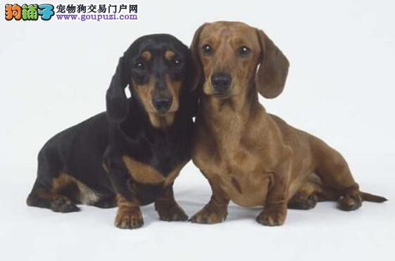 纯种腊肠犬多少钱一只品相好签协议包纯包健康3个月