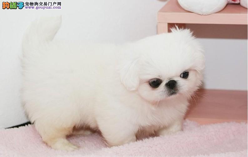 兰州纯种宫廷京巴狗幼犬出售 保质保健康 有协议有保障