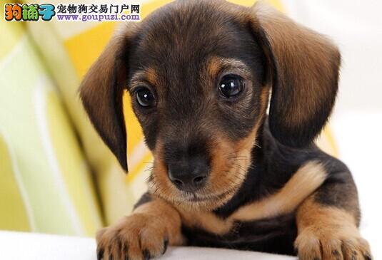 出售健康腊肠幼犬 公母全有小腊肠犬多只选可包邮
