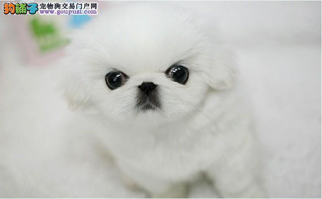 养殖场直销京巴狗幼犬 品质保证 送用品 签协议保障