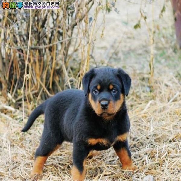 专业繁殖高品质罗威纳 防暴犬带证书出售中 签协议