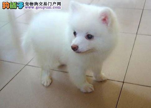 专业繁殖基地银狐幼犬纯种健康公母齐全终生质保合同