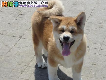 广州专业赛级柴犬后代 日本柴犬纯种健康低价格出售