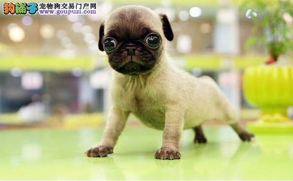 长沙憨厚可爱的小巴哥幼犬 保纯保健康 做疫苗特价销售