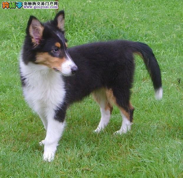 无锡自家繁殖喜乐蒂牧羊犬幼犬保纯种保健康可送上门