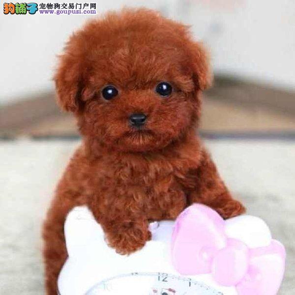 直销进口韩系纯种深圳泰迪犬 血统纯有证明防疫都做好图片