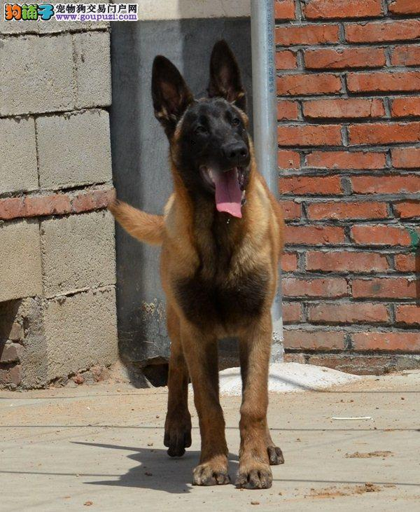 南宁地区售马犬马里努阿犬幼犬疫苗齐比利时马犬包邮