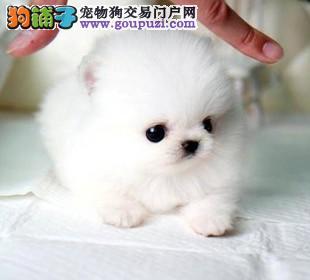 云南犬舍顶级韩版小体茶杯犬出售可上门挑选签协议