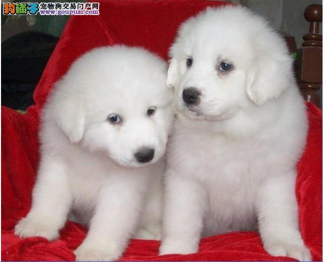 无锡家养熊版大白熊犬纯种健康大白熊公母都有签协议