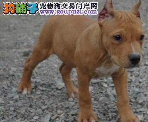 上海纯种美国比特犬出售 血统纯种 身体强壮 非常凶猛