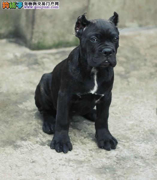 重庆哪里有卖卡斯罗犬 重庆卡斯罗犬一只多少钱