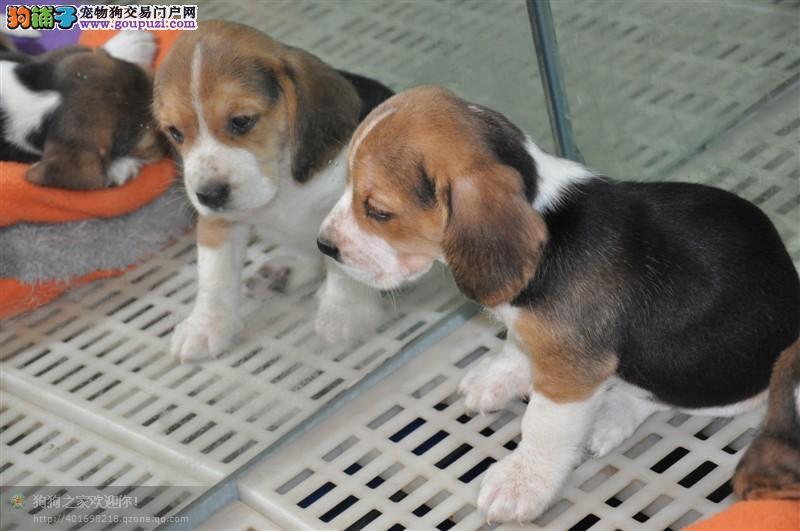 比格犬价格、米格鲁价格、比格犬照片、比格犬图片