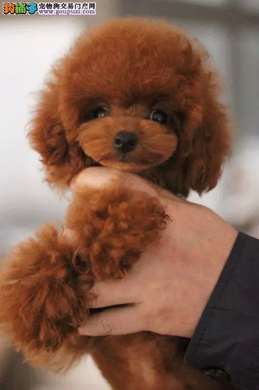 沈阳出售精品纯种小型犬比熊宝宝袖珍迷你茶杯犬宠物狗