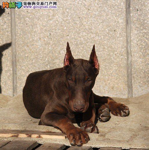 纯种德系杜宾犬,杜宾犬繁殖,黑色,咖啡色