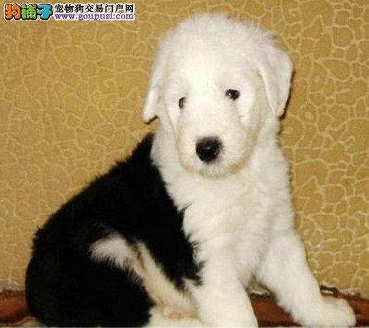 重庆出售纯种古牧幼犬白头黑背赛级正规犬舍繁殖疫苗齐