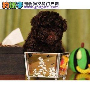 苏州茶杯犬价格茶杯犬多少钱一只纯种茶杯犬出售包售后