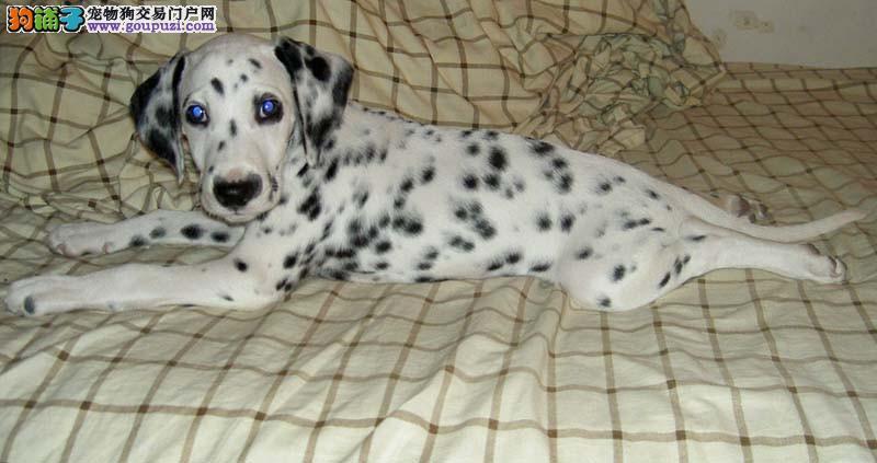 深圳市出售斑点狗 纯种健康 CKU认证犬业 完美售后