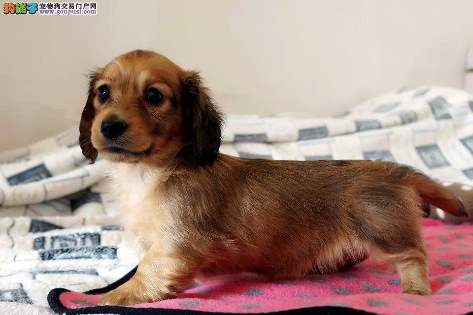 纯种腊肠犬宝宝出售 活泼可爱 健康保证 签质保协议