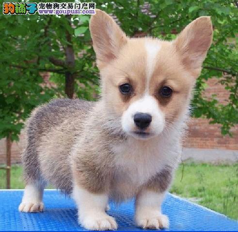 南开出售精品威尔士柯基犬幼犬两色三色都有贵族宠物狗图片