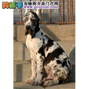 大型专业培育大丹犬幼犬包健康期待您的来电咨询