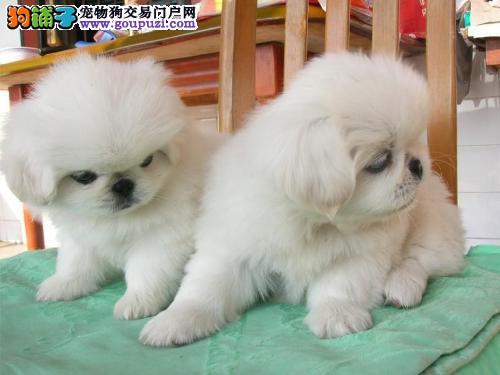正规犬舍繁殖 诚信交易 纯种京巴犬出售 可视频看狗