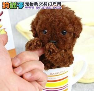 纯种郑州茶杯犬幼犬多窝可挑选血统纯正