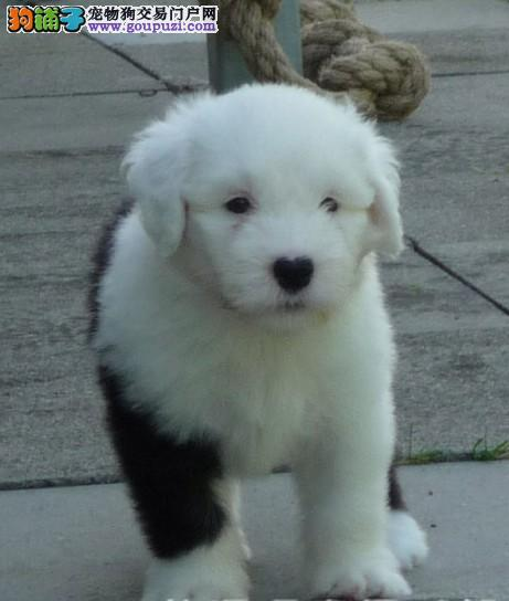 CKU的白头通背 四蹄踏雪 顶级血统保健康 古代牧羊犬