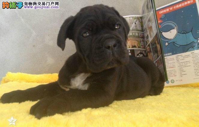 纯种卡斯罗幼犬出售 多色可选 公母都有 信誉第一